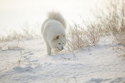 Dog walking in fresh winter snow