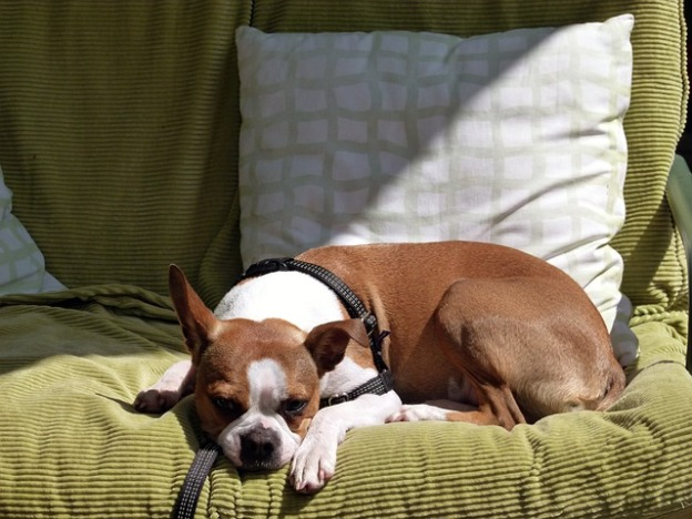 Dog on a futon in the sun