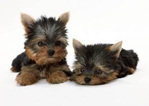 two cute yorkie puppies laying down