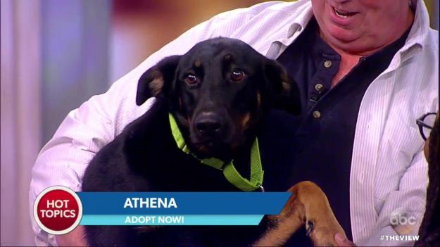 Bill Smith from BARC Shelter in Brooklyn holding Athena a Doberman-mix on ABC's The View